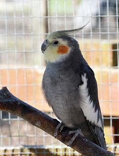 gray cockatiel