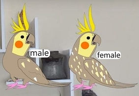 male female pearl cockatiel