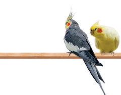 cockatiel couple .png