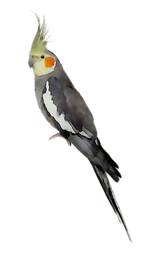 sketch cockatiel png