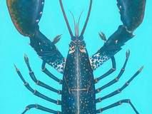 Blue Lobster - Turquoise