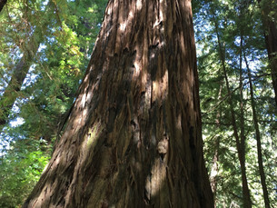 Lonely, But Never Alone - Redwoods