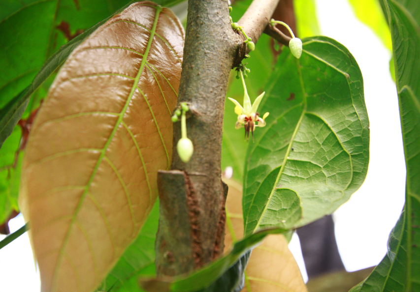 cocao flower