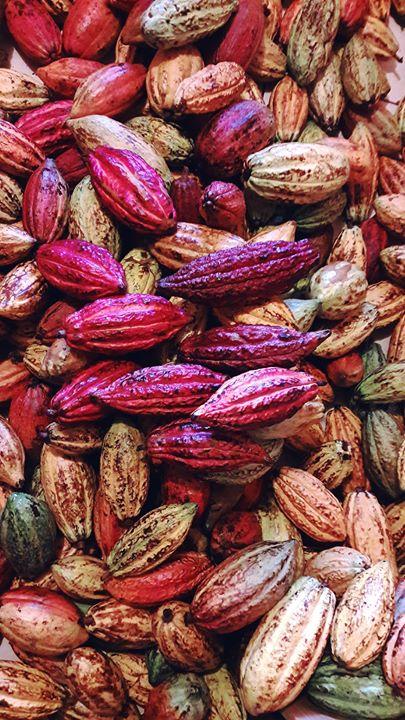 Gracias chicoos por este hermoso cacao! Ahora si a fermentar, secar, tostar y hacer mas chocoos para