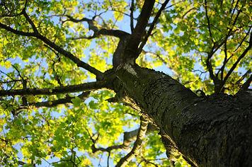 bark-leaves-maple-4258.jpg