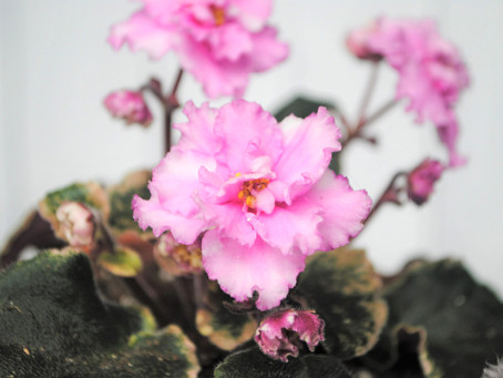 African Violet- Plant Bio: Podcast Ep#30