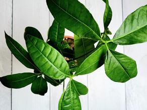 Money Tree- Plant Bio: Podcast Ep#44
