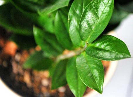 ZZ Plant- Plant Bio: Podcast Episode #17