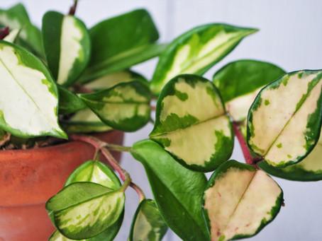 Hoya Plant Bio: Podcast Ep#25