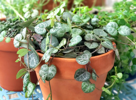 String of Hearts Plant Bio: Podcast Ep#16