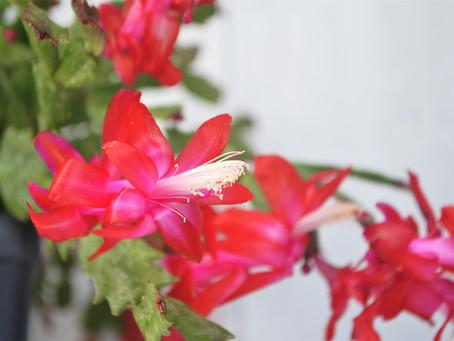 Holiday Cactus Plant Bio: Podcast Ep#21