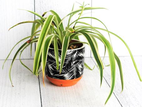Spider Plant- Plant Bio: Podcast Ep#29