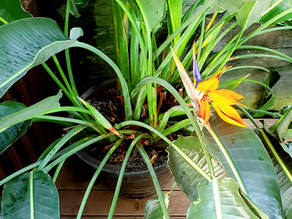 Bird of Paradise- Plant Bio: Podcast Ep#39