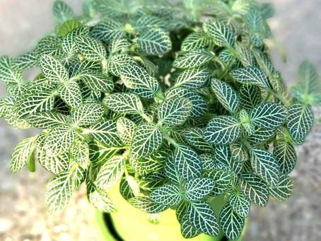 Nerve Plant- Plant Bio: Podcast Ep#19