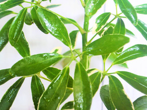 Schefflera- Plant Bio: Podcast Ep#38