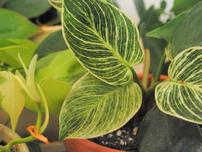 Philodendron Pt.1 & Pt. 2- Plant Bio: Podcast Ep#14 & Ep#40