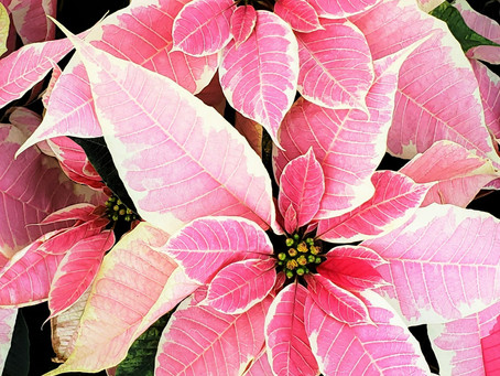 Poinsettia Plant Bio: Podcast Ep#22