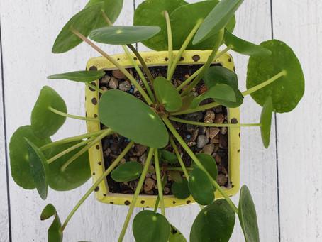 Pilea Plant Bio: Podcast Ep#20