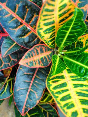 Croton- Plant Bio: Podcast Ep#37
