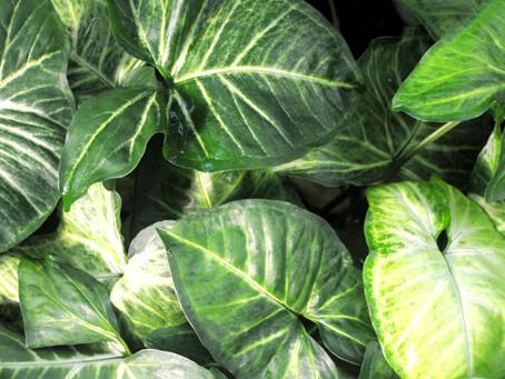 Syngonium Plant Bio: Podcast Ep#23