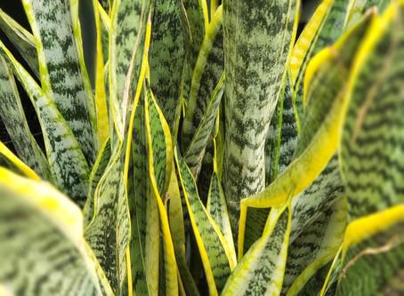 Sansevieria Plant Bio: Podcast Ep#1