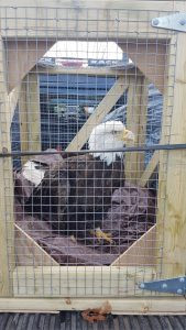 MATURE BALD EAGLE POISONED BY LEAD