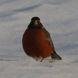 HELPING MIGRATORY BIRDS DURING WINTER CONDITIONS