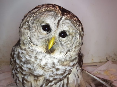 INCREASE IN BARRED OWLS