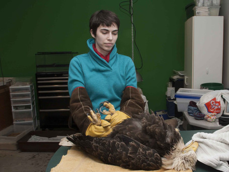 EAGLE RELEASED AFTER 7 MONTHS REHABILITATION