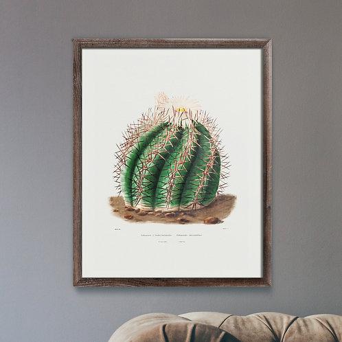 Turk's Head Cactus (Botanical Lithograph)