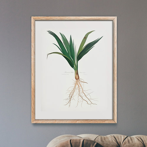 Date Palm Tree (Botanical Lithograph by Italian Botanist Giorgio Gallesio)