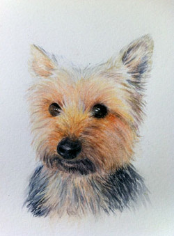 Amy - Yorkshire Terrier