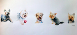 Five Yorkshire Terriers