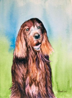 Abby - Red Setter