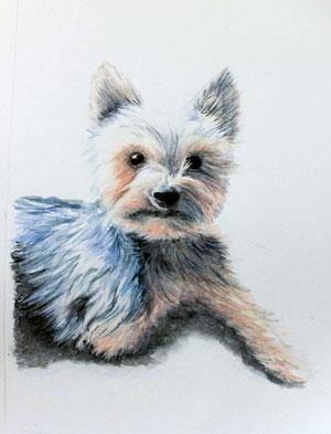 Alf - Yorkshire Terrier