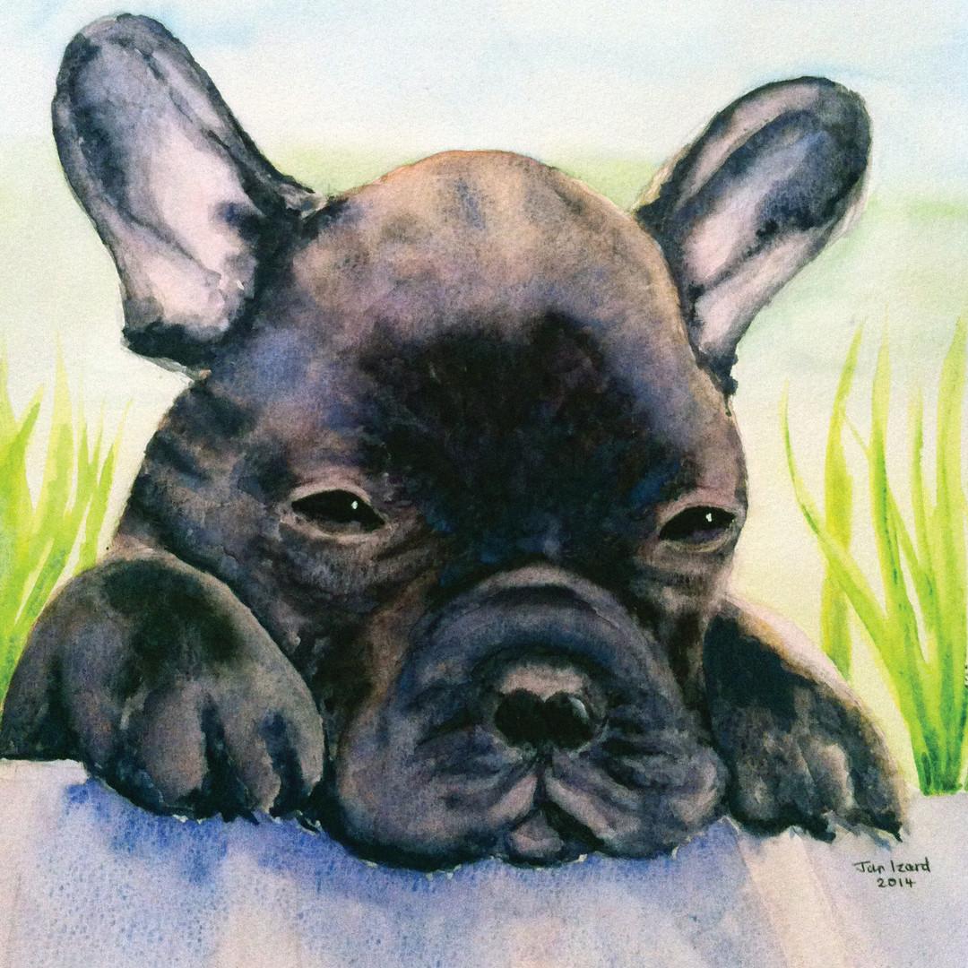 Nismo, the French Bulldog