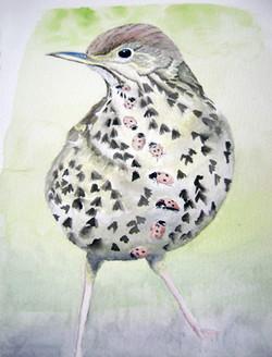 Thrush Bird with Ladybirds