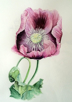 Study of Poppy Flower