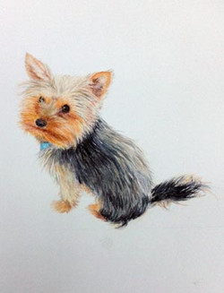 Pippa - Yorkshire Terrier