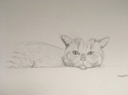 Humphrey - British Shorthair cat
