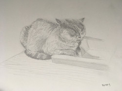 Poppy - British Shorthair cat