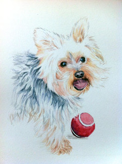 Gizmo - Yorkshire Terrier