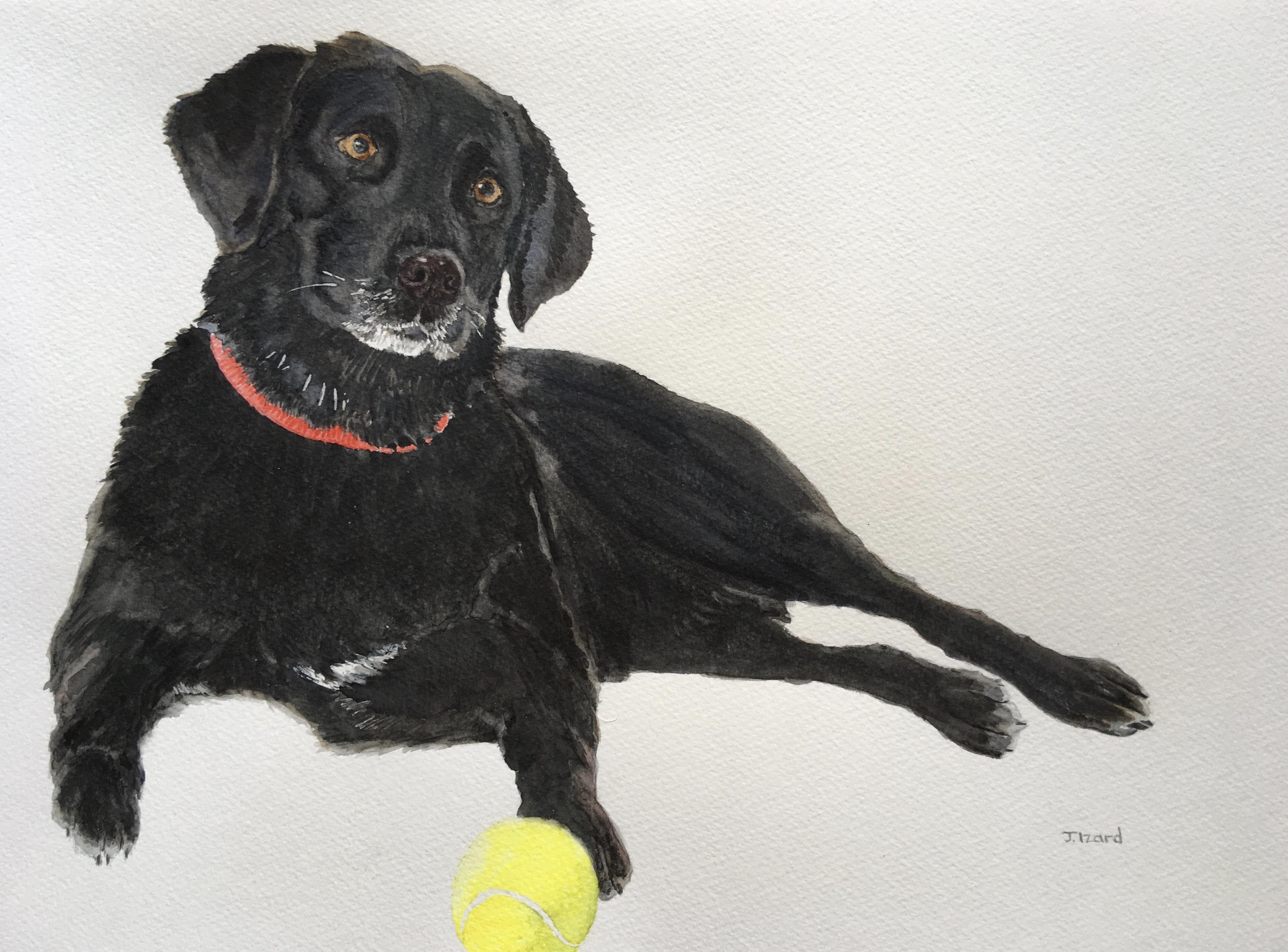 Lola - Black Labrador