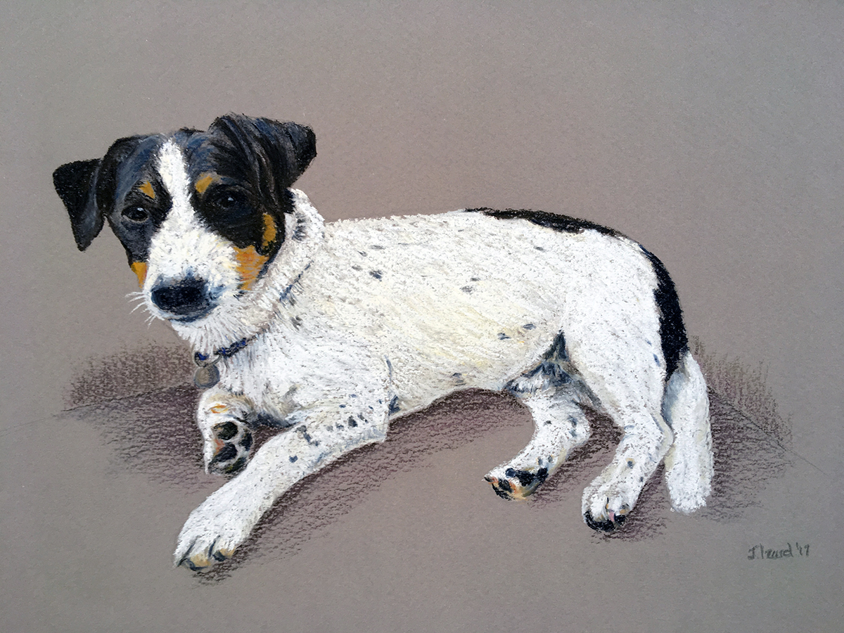 Bertie - Jack Russell