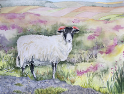 Ram in Heather, Yorkshire