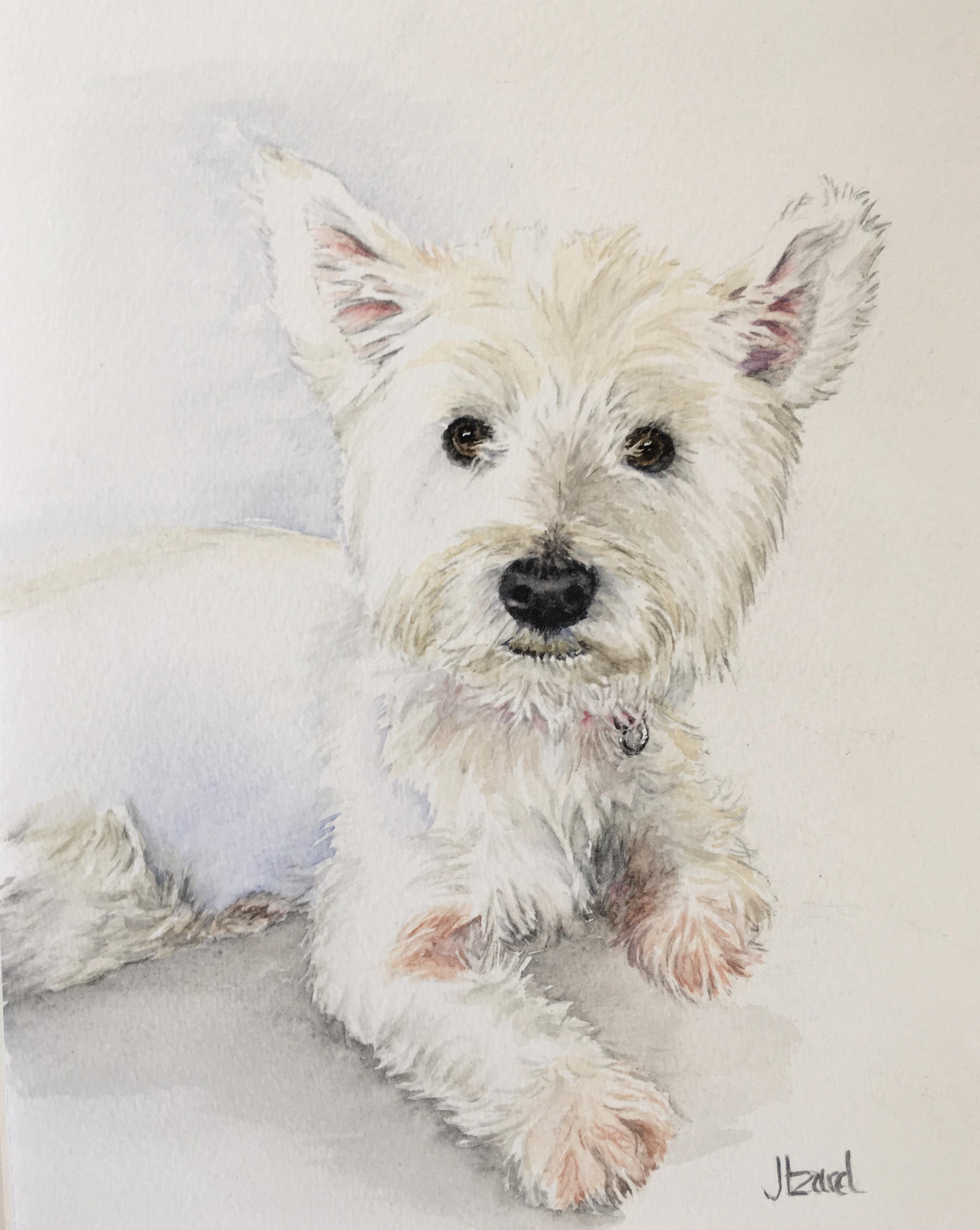 Molly - Westie dog