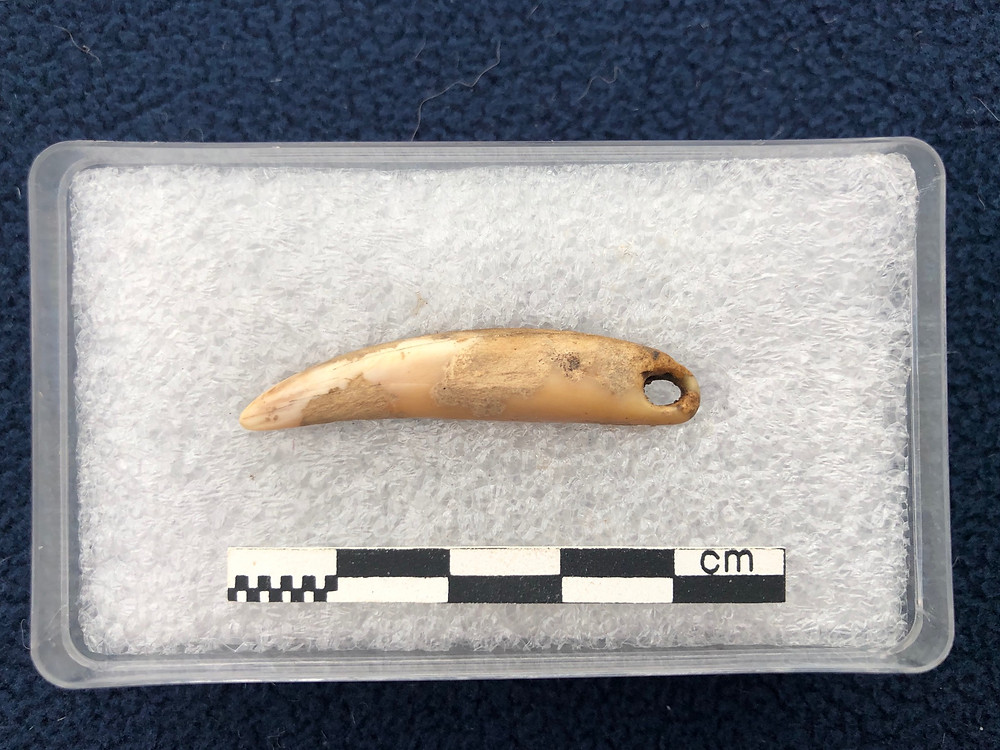Seal's tooth pendant from the 2019 dig at Swandro, Rousay, Orkney