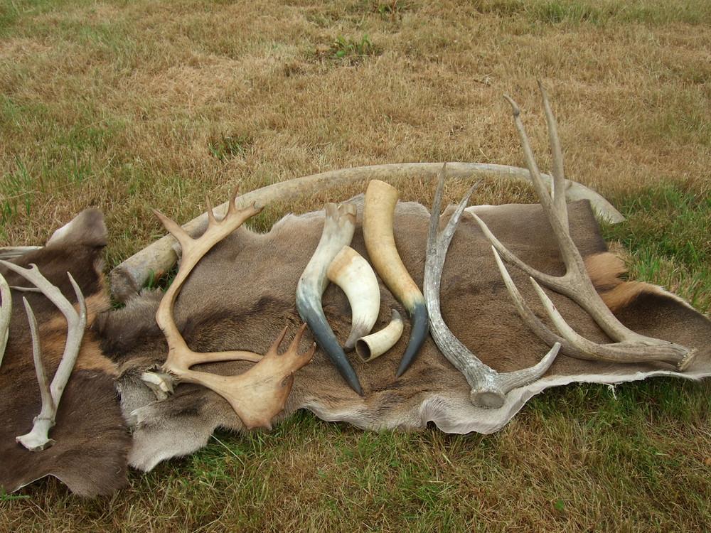 antlers, red deer skin and horns