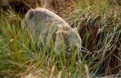 wombat walking295