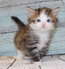 traditional siberian kitten with blue eyes